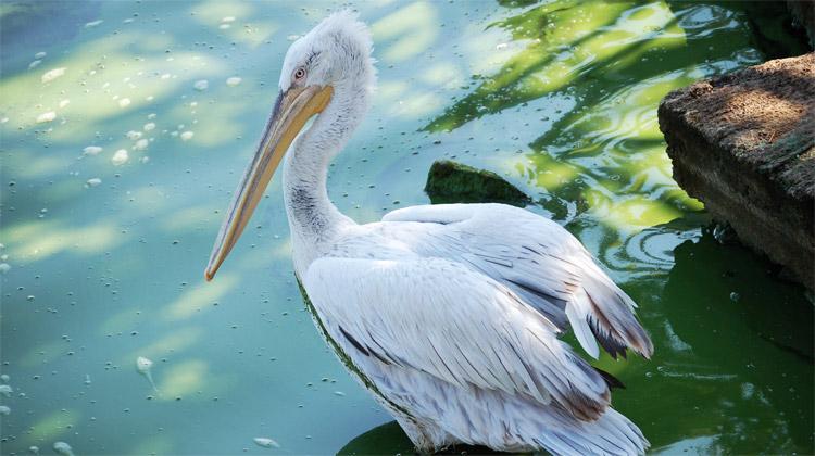 Dobrý letec pelikán bílý